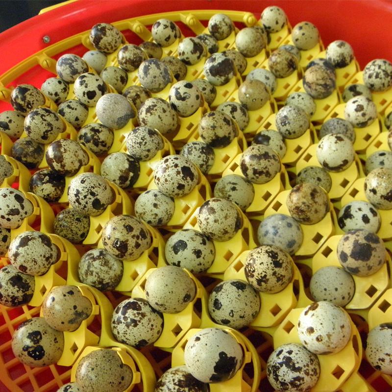 Set alveole pentru oua prepelita Puisor, capacitate 102 oua
